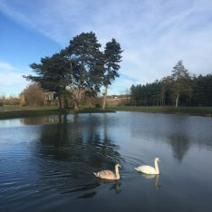 Swans at Brook Farm Cuffley